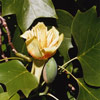 Picture of Liriodendron Tulipifera