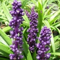Picture of Liriope Royal Purple