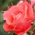 Picture of Little Miss Perfect Std 45cm-Rose