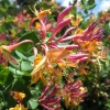 Picture of Lonicera Gold Flame