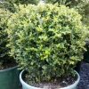 Picture of Lonicera Nitida Ball