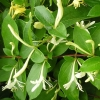 Picture of Lonicera Nitida