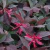 Picture of Loropetalum Burgundy Std