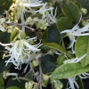 Picture of Loropetalum Chinensis