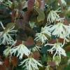 Picture of Loropetalum Iceberry
