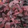 Picture of Loropetalum Plum Delight