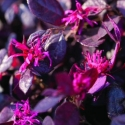 Picture of Loropetalum Purple Pixie