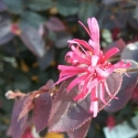 Picture of Loropetalum Zar De Doo