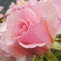 Picture of Love Always-Rose