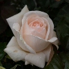 Picture of Love Me Do Std 80cm-Rose