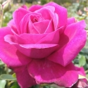 Picture of Loving Care Std 80cm-Rose