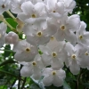 Picture of Luculia Grandiflora