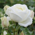 Picture of Luminis -Rose