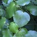 Picture of Macropiper Excelsum Psittacorum