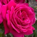 Picture of Magnifi Scent Std 80cm-Rose