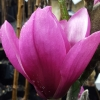 Picture of Magnolia Apollo