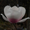 Picture of Magnolia Athene