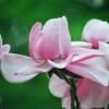 Picture of Magnolia Campbellii