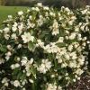 Picture of Magnolia Fairy Cream