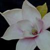 Picture of Magnolia Heaven Scent