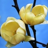 Picture of Magnolia Honey Tulip