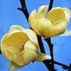 Picture of Magnolia Honey Tulip