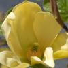 Picture of Magnolia Hot Flash