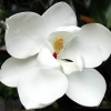 Picture of Magnolia Little Gem