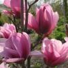 Picture of Magnolia Serene