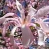 Picture of Magnolia Stellata Dawn
