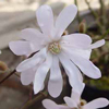 Picture of Magnolia Stellata King Rose
