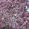 Picture of Magnolia Stellata Rosea