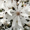 Picture of Magnolia Stellata
