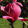 Picture of Magnolia Vulcan