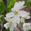Picture of Malus Crabapple Baccata Jackii