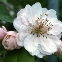 Picture of Malus Crabapple Charlottae H/W 1.5M