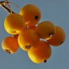 Picture of Malus Crabapple Coronet Peak