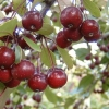 Picture of Malus Crabapple Echtermeyer H/W 1.5m