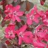 Picture of Malus Crabapple Ellerslie H/W 1.5