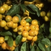 Picture of Malus Crabapple Golden Hornet