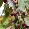 Picture of Malus Crabapple Kaitoke H/W 1.7