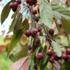 Picture of Malus Crabapple Kaitoke