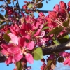 Picture of Malus Crabapple Profusion