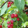 Picture of Malus Crabapple Red Jade H/W 1.7