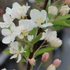 Picture of Malus Crabapple Snowbright