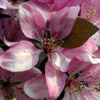 Picture of Malus Crabapple Strathmore H/W 1m