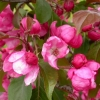Picture of Malus Crabapple Van Eseltine