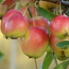 Picture of Malus Crabapple Wrights Scarlet