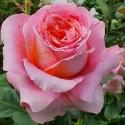 Picture of Mamma Mia-Rose