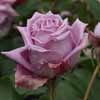 Picture of Mamy Blue-Rose